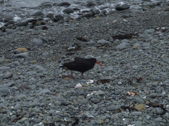 makara-walk-variable-oystercatchercatcher