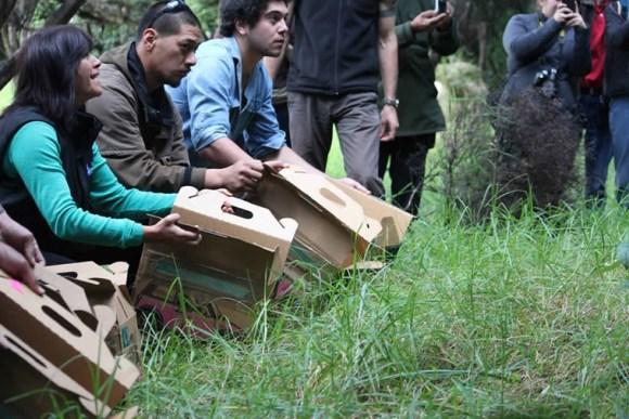 Robins being released on Moturua Island by local volunteers. Photo: Richard Robbins/Sally Wells.