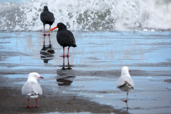 Gulls take a back row – watching and learning from the masters