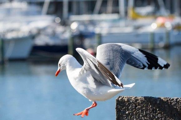 Red-billed gull. Photo © Brian Sheppard.