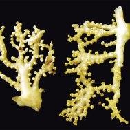 Hydrocoral (Crypthelia spp.) Specimen image NIWA.