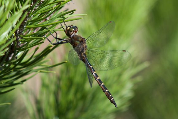 Ranger Dragonfly (Procordulia smithii). Photo: Jon Sullivan | CC BY-NC 2.0.