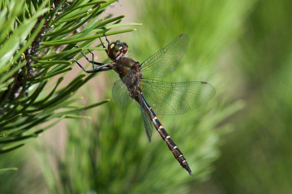 Ranger Dragonfly (Procordulia smithii). Photo: Jon Sullivan | CC BY-NC 2.0.