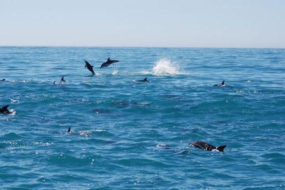 Dusky dolphins. Photo: Caroline Wilkins.