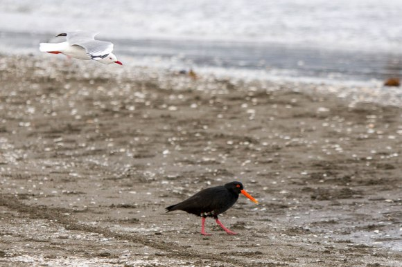 Oystercatcher closely followed by an inquisitive red-billed gull. Photo © Brian Sheppard.