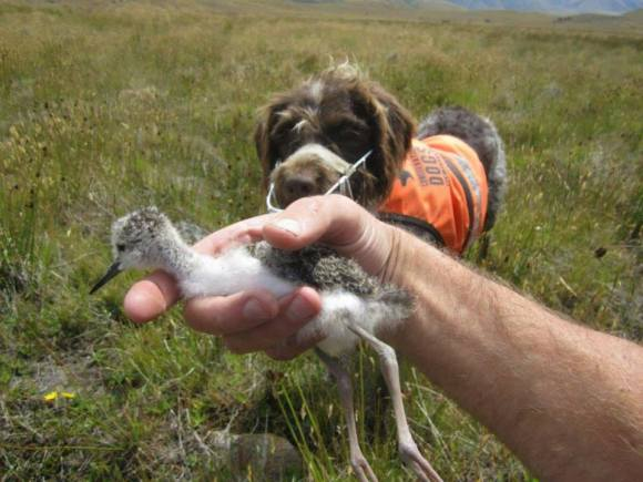 Holding a kakī chick with Jazz the conservation dog in the background.