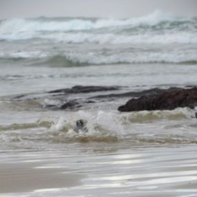Yellow-eyed penguin dives into the surf.