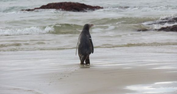 Yellow-eyed penguin wandering to the surf.