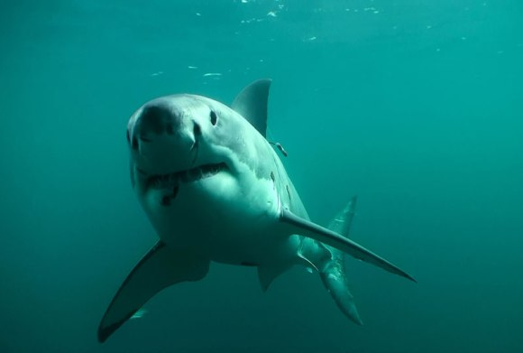 Great white shark with acoustic tag. Photo: Clinton Duffy / DOC.
