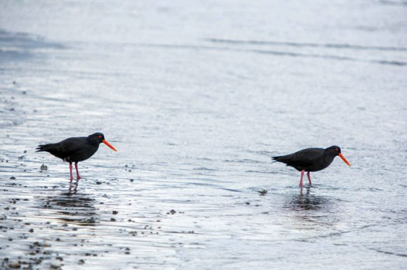 Two oystercatchers wading in the shallow water. Photo © Brian Sheppard.