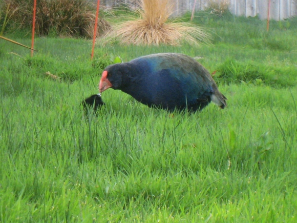 Kawa feeding her foster chick at Te Anau Wildlife Park.