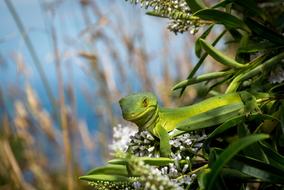 Marlborough green gecko. Photo copyright Sabine Bernert.