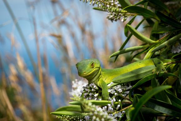 Marlborough green gecko. Photo copyright Sabine Bernert.
