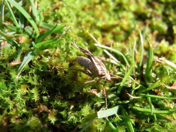 The flightless female little brown moth. Photo credit: Brian Patrick.