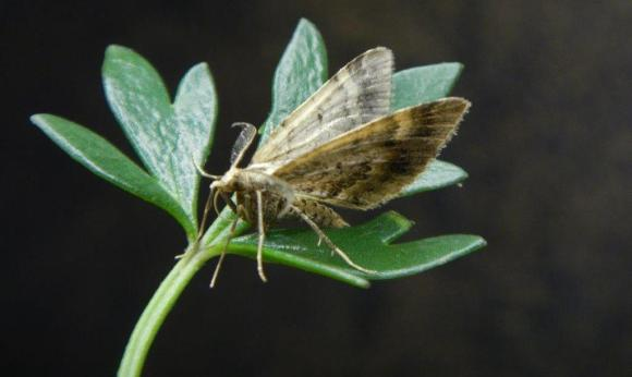 A male little brown moth on its potential host plant, a native buttercup. Photo: Brian Patrick.