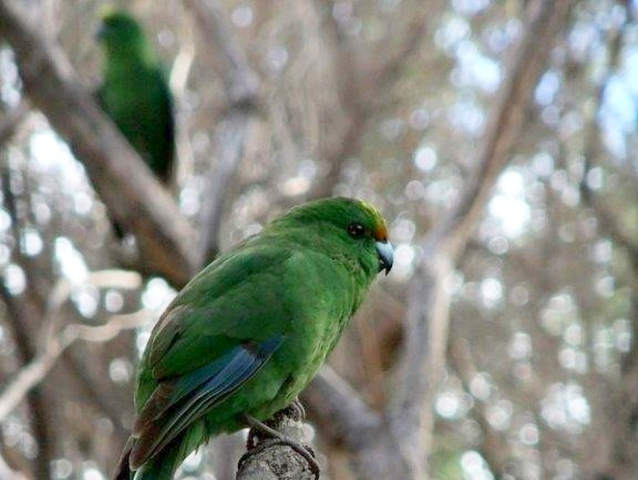 Two orange-fronted parakeets in the trees.