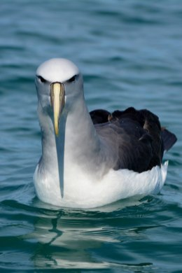 Salvin's albatross. Photo: Katherine Clements.