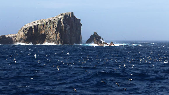 Salvin's albatross, Bounty Islands. Photo: Igor Debski | DOC.