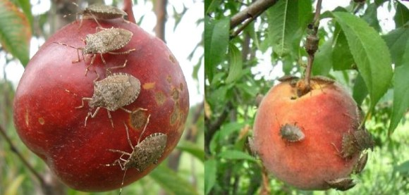 Brown marmorated stink bugs feeding in an orchard. Photo: Dr. Tracy Leskey.