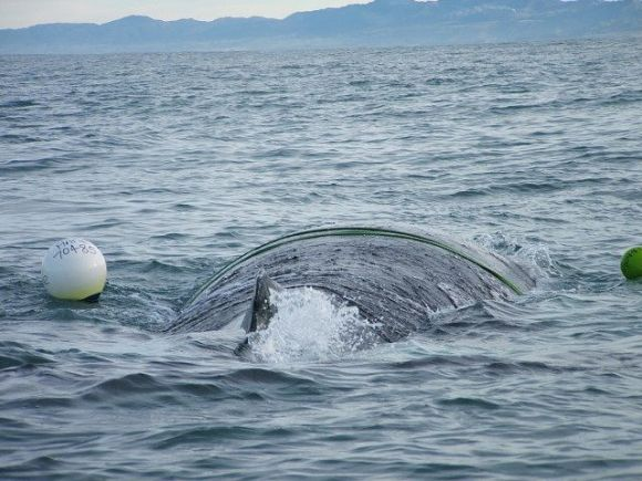 Young humpback whale entangled in a crayfish pot.