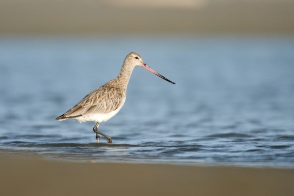 Bar-tailed godwit. Photo: Andrew Walmsley | www.andrewwalmsleyphotography.com.