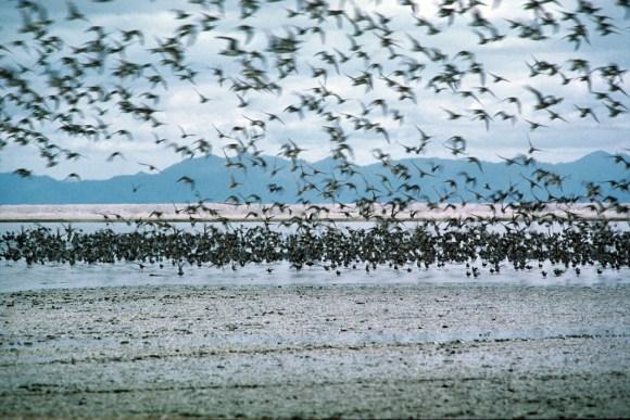Birds at Miranda, Firth of Thames.