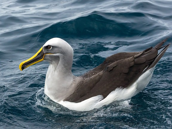 Buller's Albatross. Photo: David Cook Wildlife Photography.