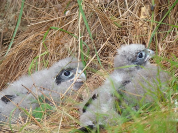 Falcon chicks with feathers.