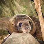 New Zealand fur seal pup.