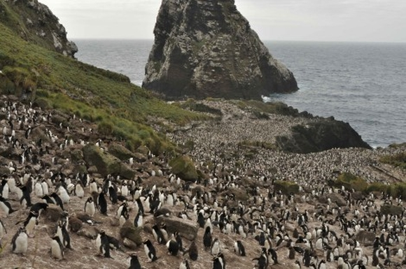 Antipodes penguin colony creating enriched soils. Photo by Kath Walker.