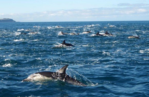 Common dolphin pod in Taputeranga.