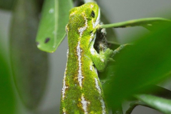 Pregnant female jewelled gecko. Photo: Simon Eyre/Wellington Zoo.