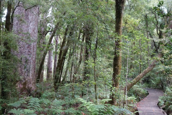Kauri forest on the Yakas Walk. Photo: Beverley Bacon.