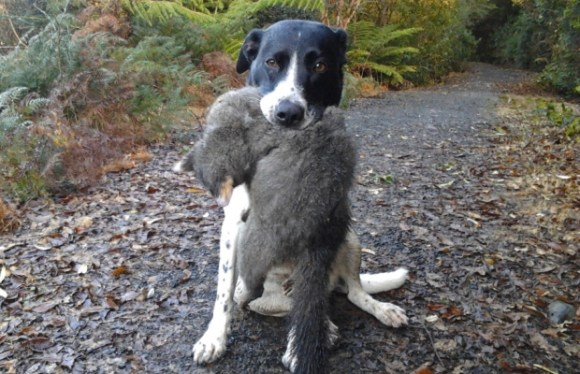 Kerry Weston's dog Lily with a possum caught in the reserve in Ravensbourne.