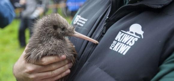 Kiwis for kiwi release on Motutapu Island.