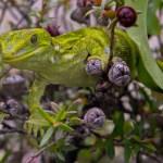 Naultinus stellatus or Nelson green gecko