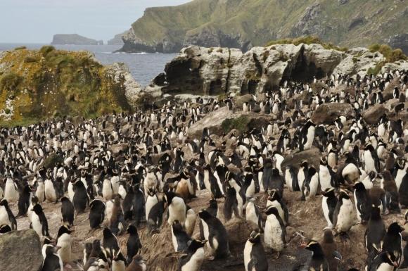 Antipodes Island penguin colony. Photo: Kath Walker.