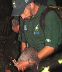 Roger Colbourne with a little spotted kiwi on Kāpiti Island. Photo: Herb Christophers.