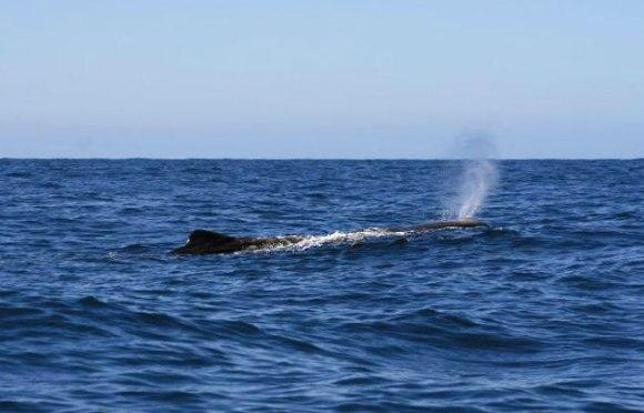 Sperm whale in Te Rohe o Te Whānau Puha / Kaikōura Whale Sanctuary.