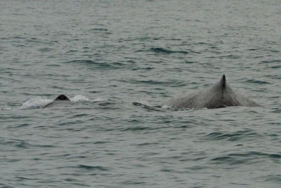 Humpback whale and calf.