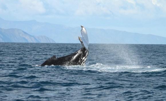 Humpback whale tail slap.