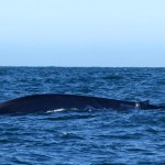 Blue whale spotted in the Cook Strait.