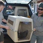 Marine Ranger Yuin Khai Foong and Auckland Zoo staff transport the seal.