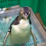 A yellow-eyed penguin during its rehabilitation. at Wildbase Hospital.