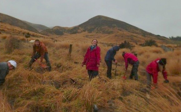 Planting tussock at the Burwood Takahē Breeding Centre under gathering storm clouds.