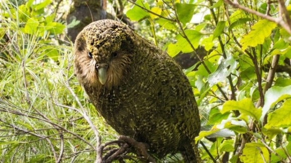Ruapuke, the kākāpō that hatched from a masking tape and PVA glue repaired shell, aged one.