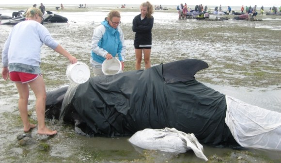 Andrea Crawford pouring water over a stranded pilot whale.