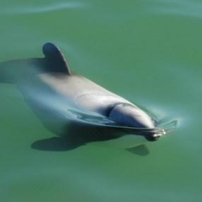 Hector's dolphin. Photo: Erin Green.