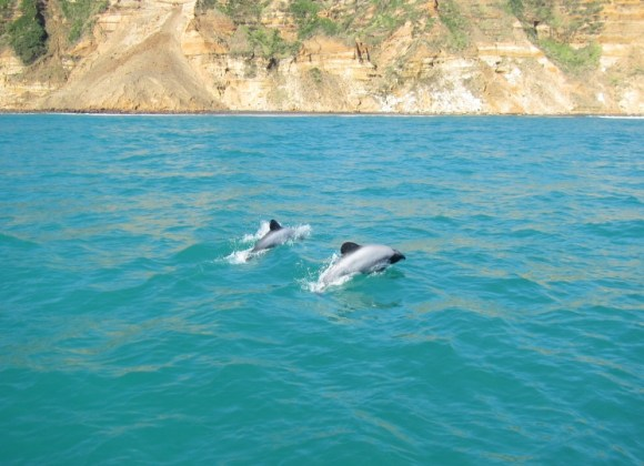 Māui dolphin. Photo Laura Boren.
