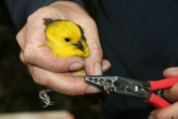 Mōhua being banded prior to release on Coal Island. Photo: Jo Priestley ©